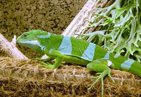 list of iguana diseases and symptoms