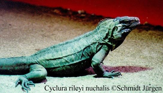 Cyclura rileyi nuchalis
