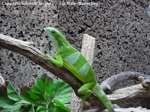 Brachylophus bulabula