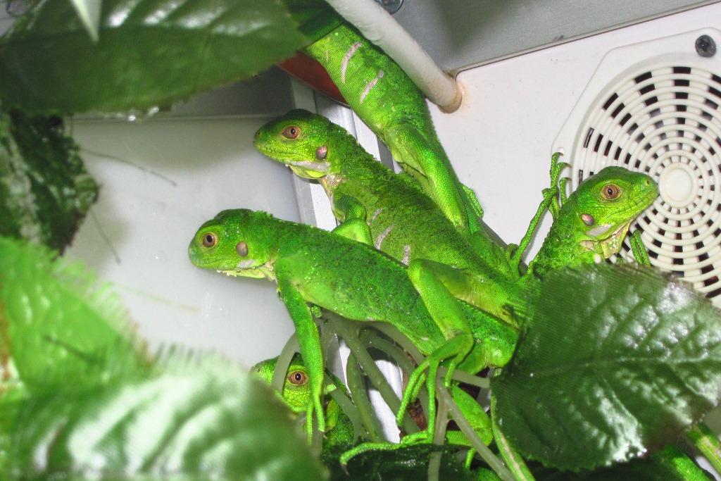 Iguana delicatissima Jungtiere
