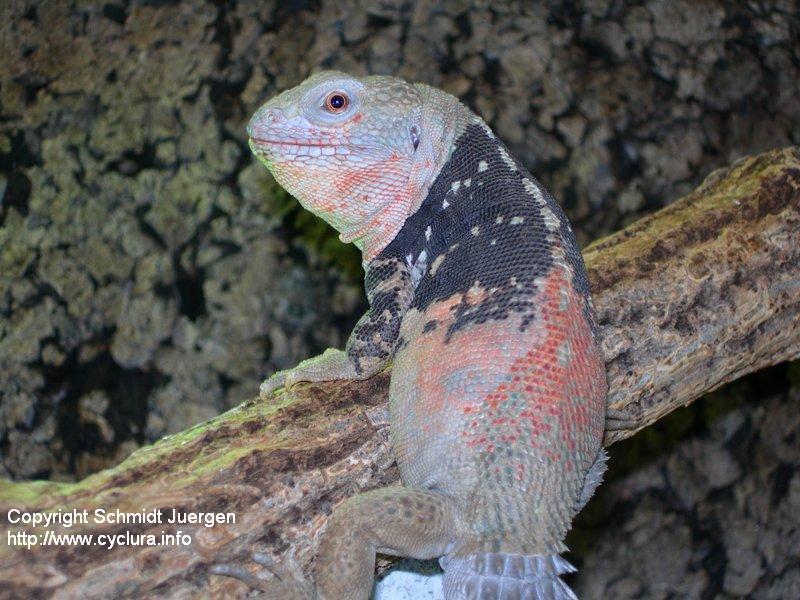 Ctenosaura defensor Männchen