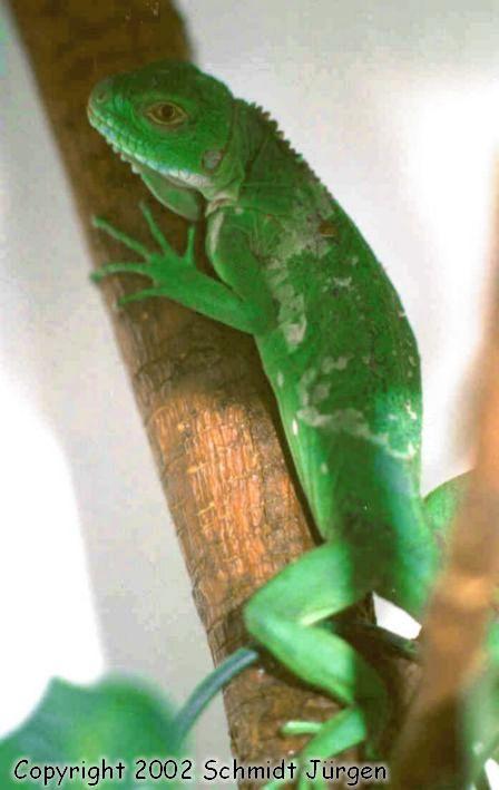 Iguana delicatissima Jungtier