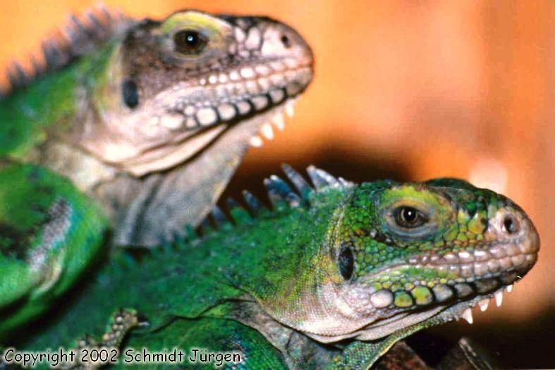 Iguana delicatissima Pärchen