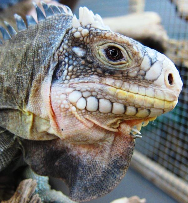 Iguana delicatissima Weibchen