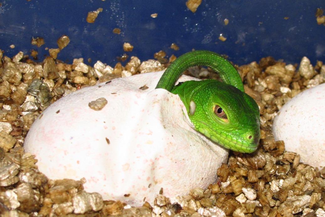 Iguana delicatissima beim Schlüpfen