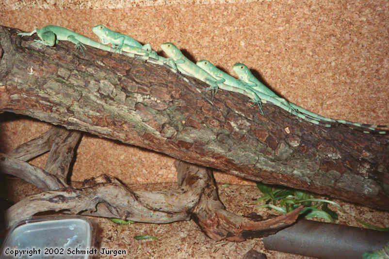 Iguana Iguana Jungtiere