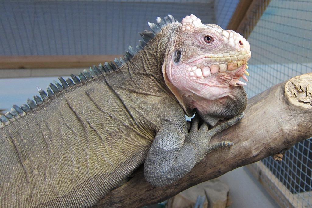 Iguana delicatissima Männchen