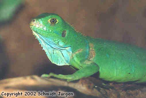 Iguana Iguana Jungtier