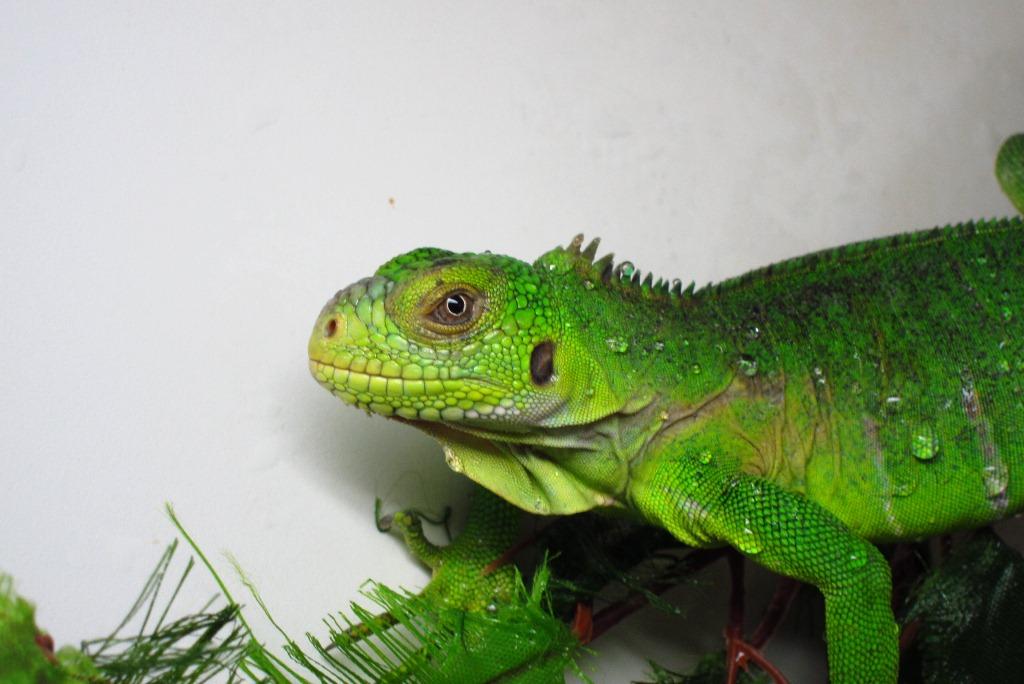 Iguana delicatissima erwachsenes Tier